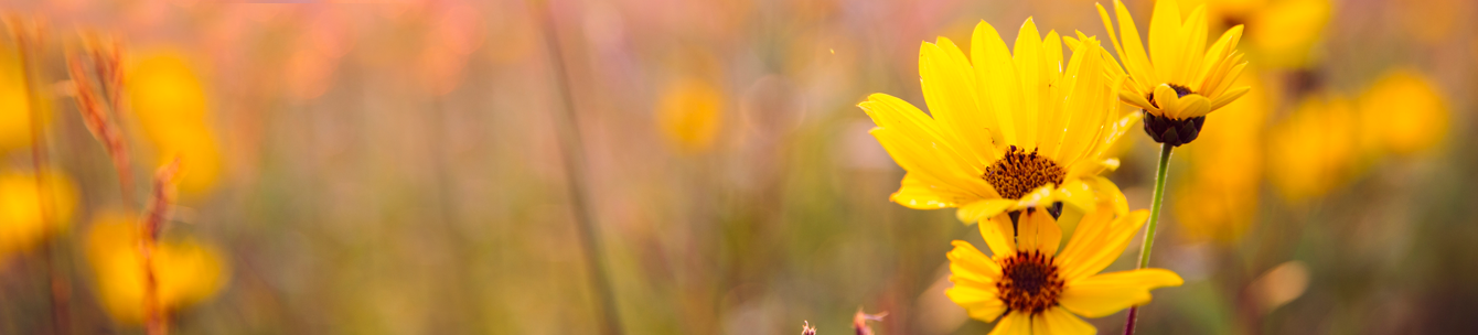 A close up of a yellow flower with blurred flowers in the background